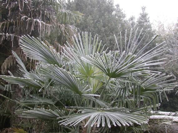 palmier résistant au gel en hiver