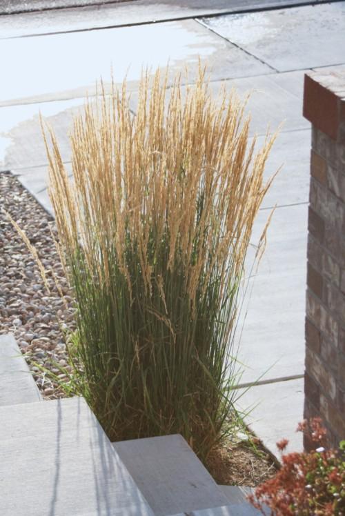 Le calamagrostis Karl foerster une graminée haute pour les aménagements modernes de jardin