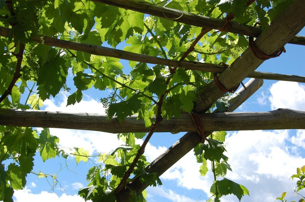distance entre 2 pieds de vigne