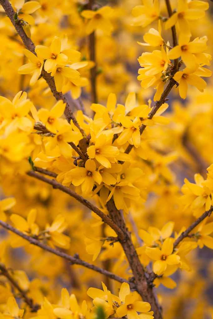 arbuste fleurs jaunes, le forsythia