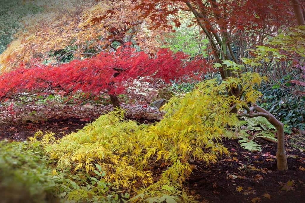 Acer dissectum jaune et rouge en avant de massif de terre de bruyère