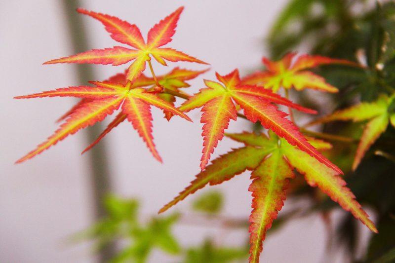 petites feuilles de l'érable du japon