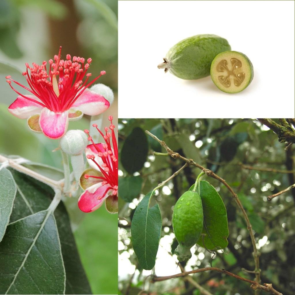 fruits et fleurs comestible de cette plante persistante