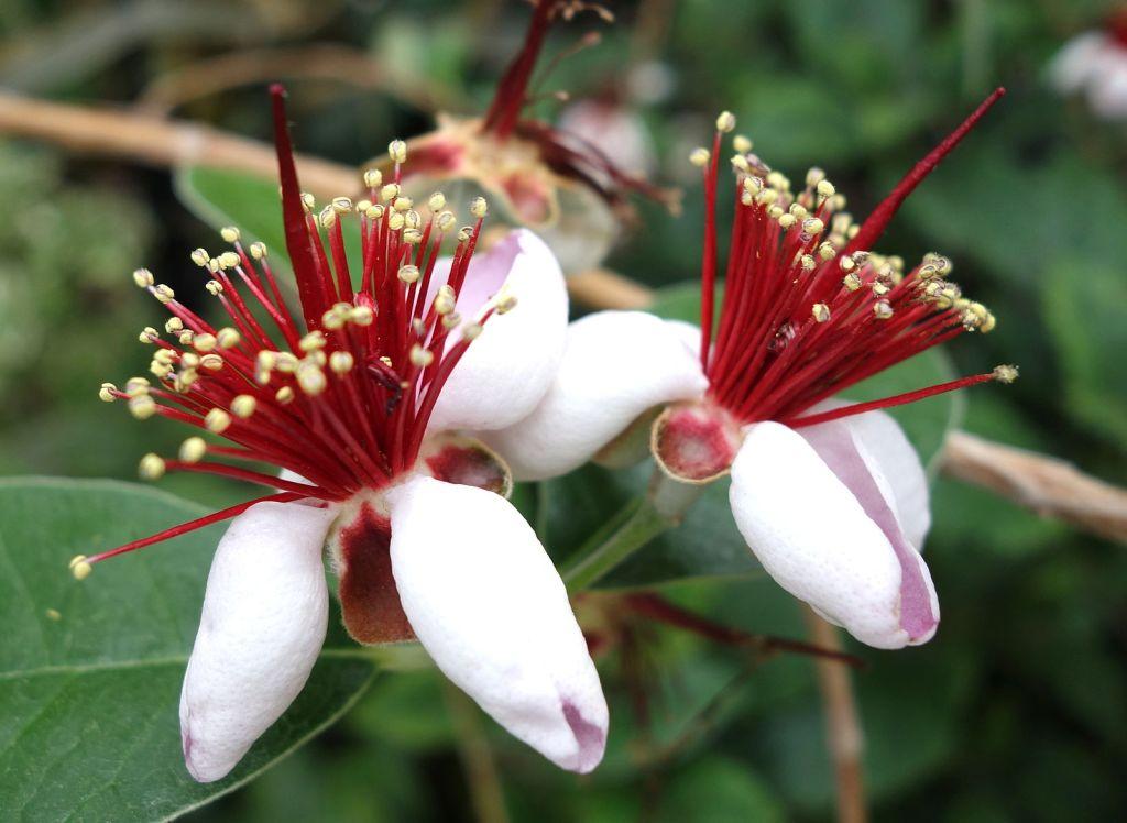 fleurs rouge de cette plante de haie persistante