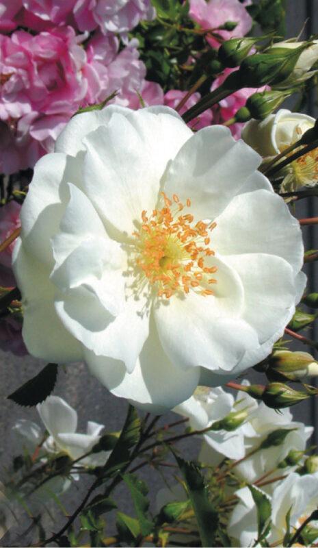 fleur blanche au coeur jaune du rosier grimpant