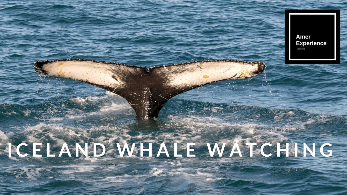 Iceland Whale Watching Reykjavik Akureyri