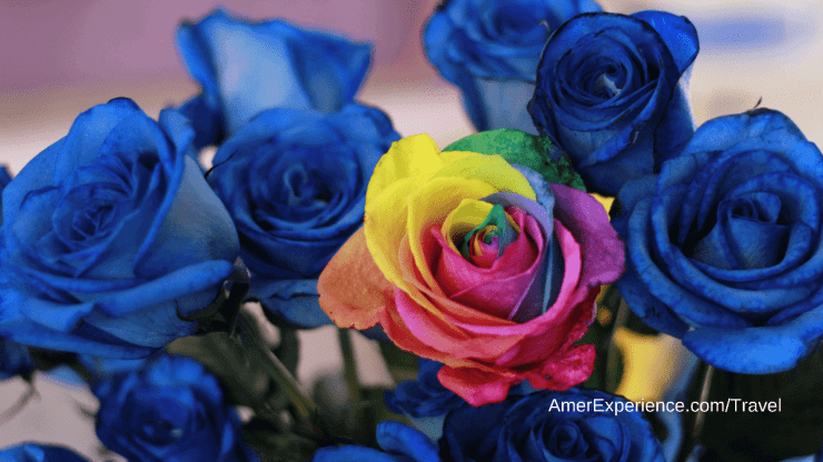 Rainbow rose and blue roses from Ecuador