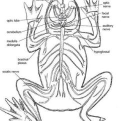 Excretory System Diagram Labeled 2006 Subaru Impreza Radio Wiring Nervous - American-bullfrog