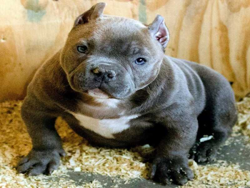American Bullies Pitbulls And Girls Wallpaper 200 Best Names For American Bully And Pitbull Dogs 2018