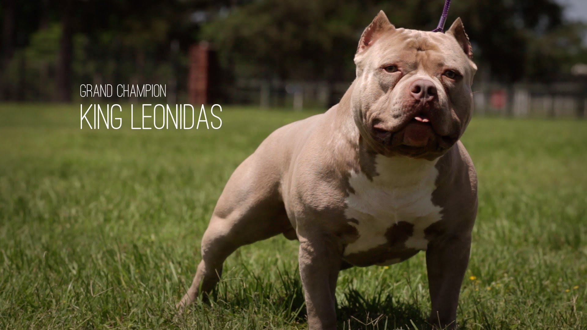 American Bully Dog of the Day King Leonidas the Grand