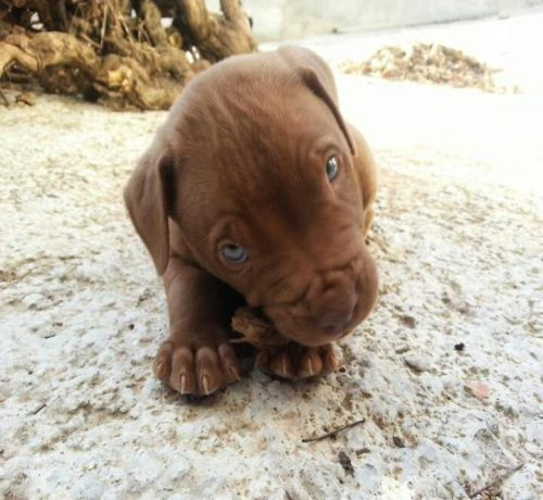 red nose pitbull puppies Dog Color Brown Red Nose Pitbull Dogs