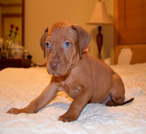 red nose pitbull puppies High Quality Picture English Pitbull Dog