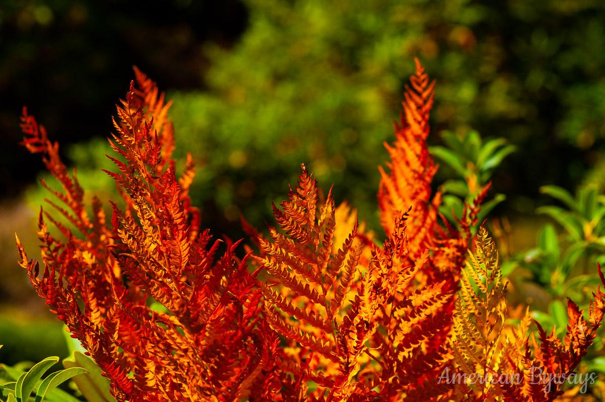 Cinnamon fern (Osmundastrum cinnamomeum)