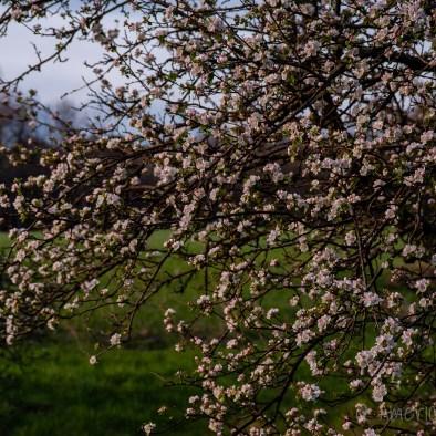 Hensley Settlement Blooms