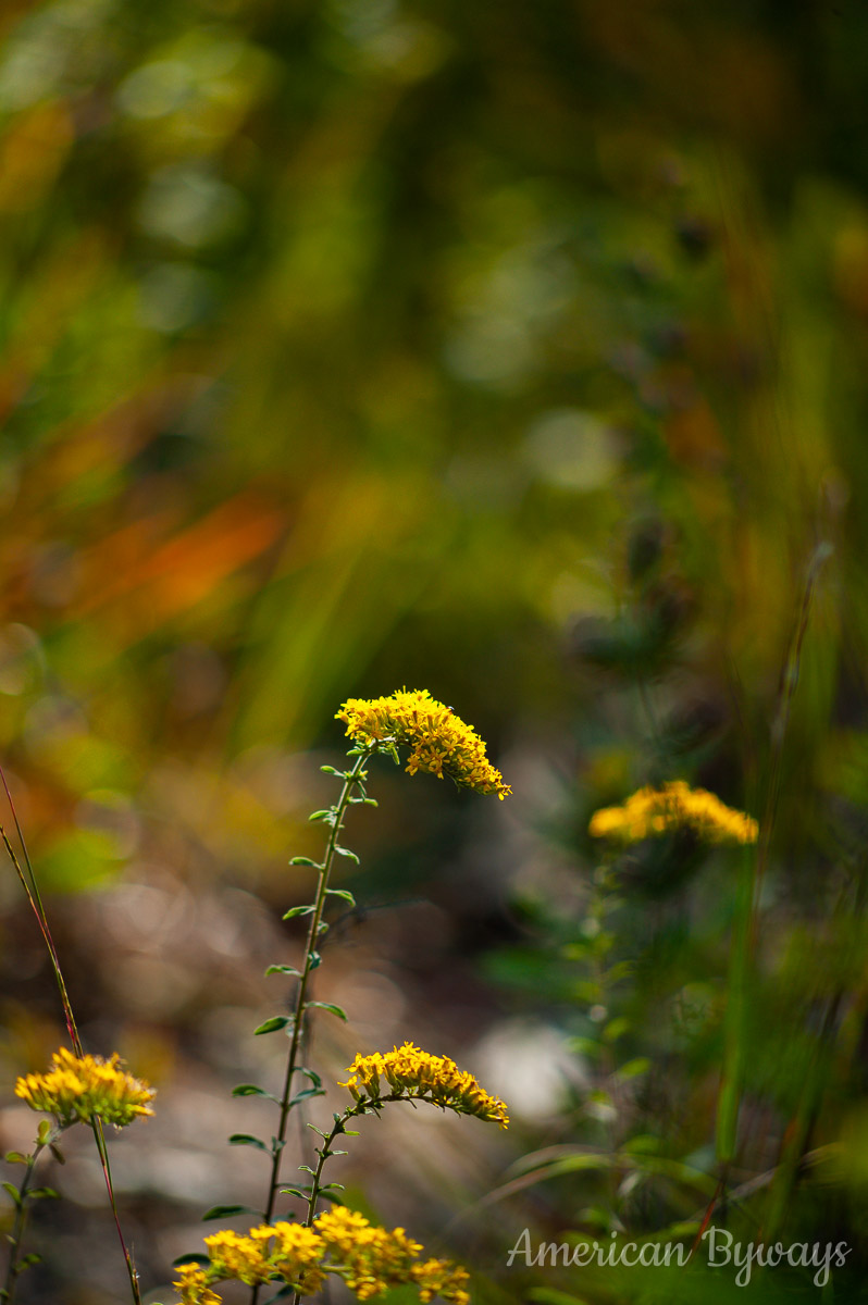 Gray goldenrod (Solidago nemoralis)