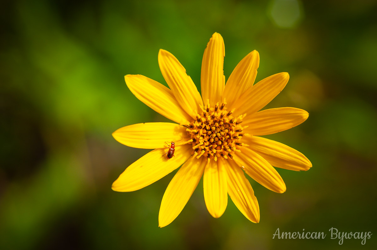 Fewleaf sunflower (Helianthus occidentalis)