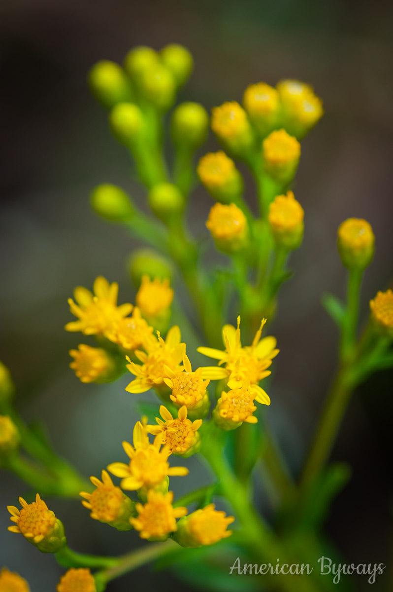 Stiff goldenrod (Solidago rigida)