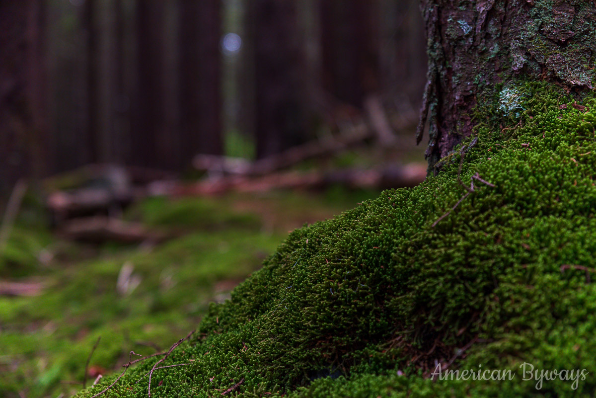 Brocade moss (Hypnum imponens)