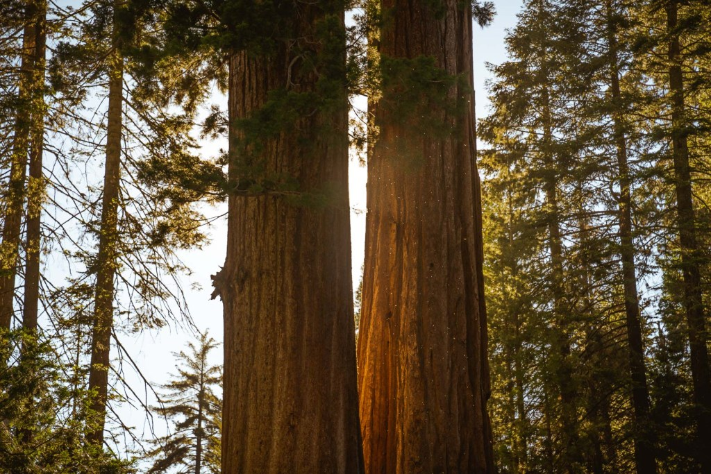 light shining between two sequoia trees in kings canyon national park