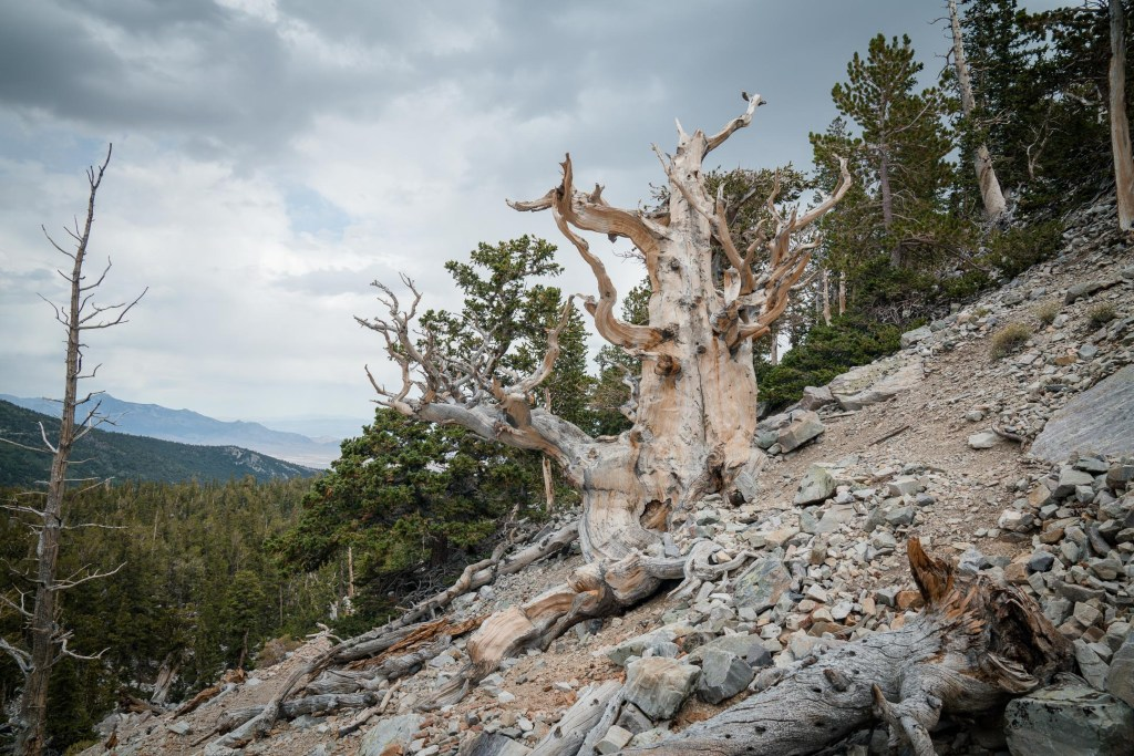 a bristlecone pine tree in great basin national park