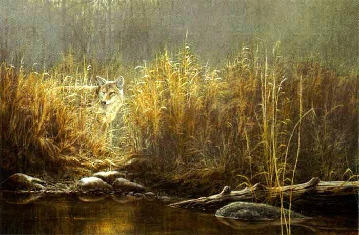 Evening Glow - Coyote