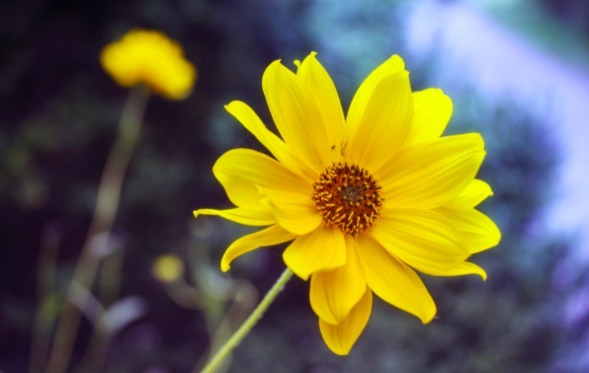 La árnica es la hierba para favorita de muchos deportistas por su poder antiinflamatorio y analgésico.