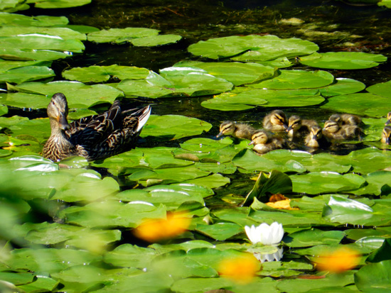 Duck and ducklings with white lily on Chicago's Caldwell Pond (Credit: Susan Barsy)