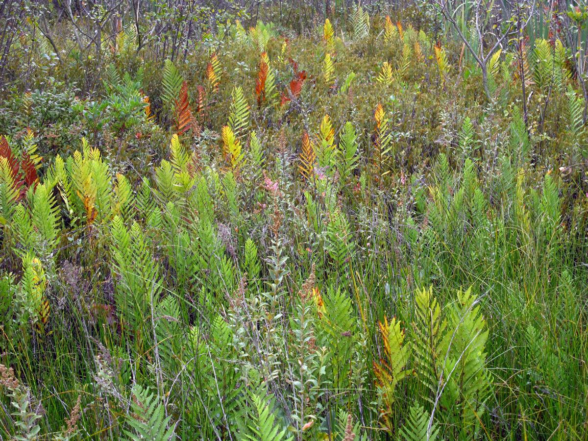 Bog ferns turning color, © 2012 Susan Barsy