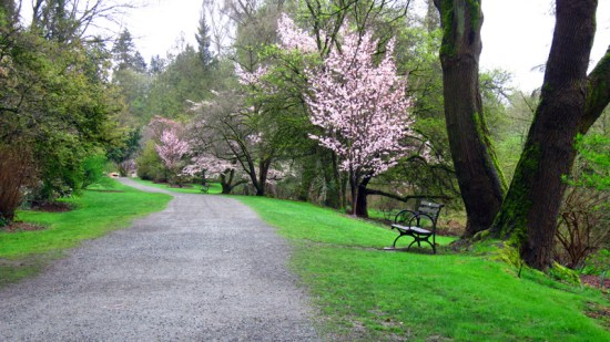 The undulating path through the center of the Arboretum blooms with cherry blossoms, crabapples, and magnolias in March.