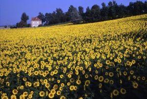Sunflowers, Haute-Garonne, France – Roger Camp
