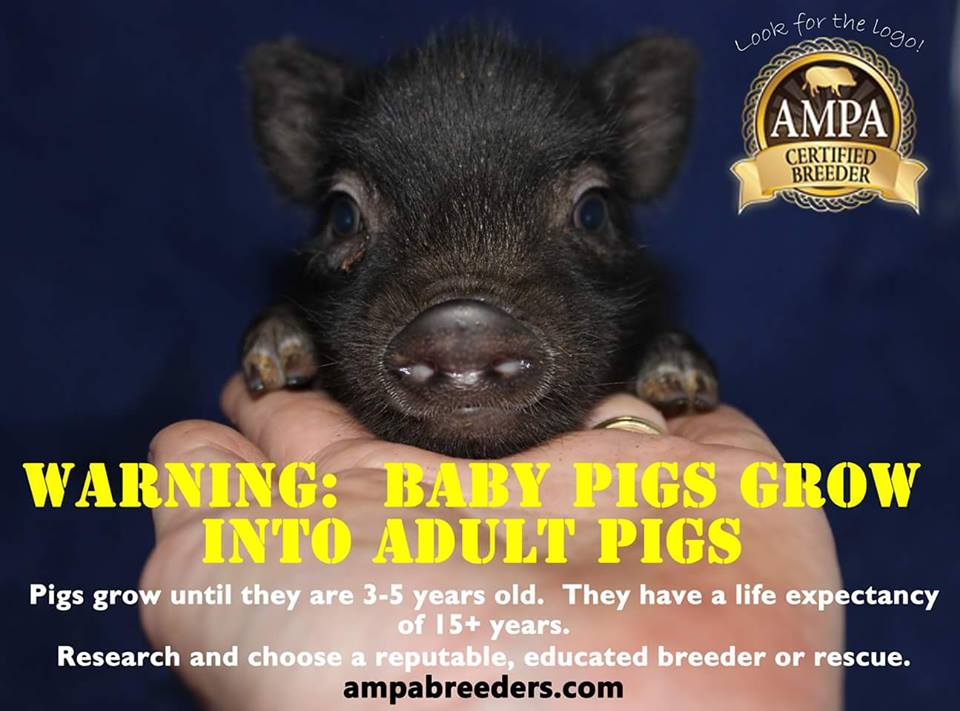 AMPA Mini Pig Educational Posters And Memes American