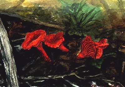 Marie Heerkens Mushroom Paintings And Drawings