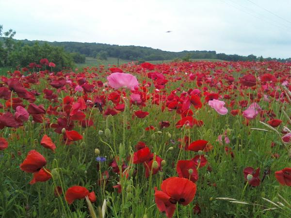 The poppies are lovely dark and deep and I have miles to go before I sleep.