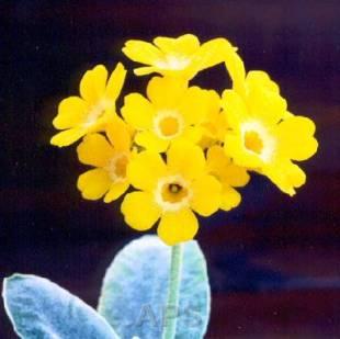 species_auricula_col_lombardyVP