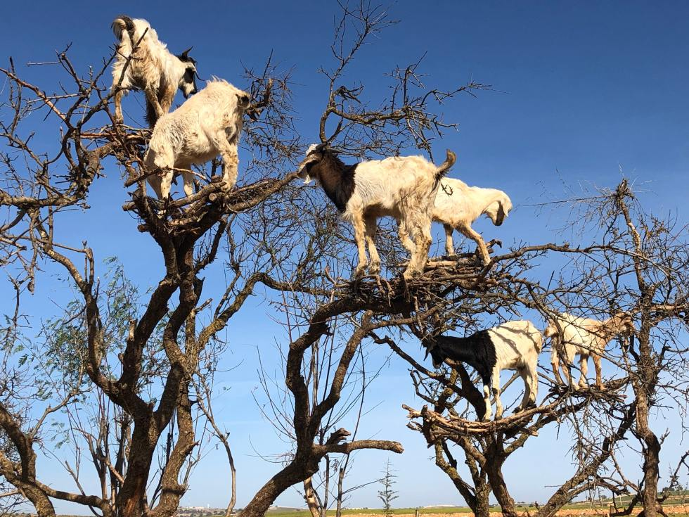 goats prevent wildfires