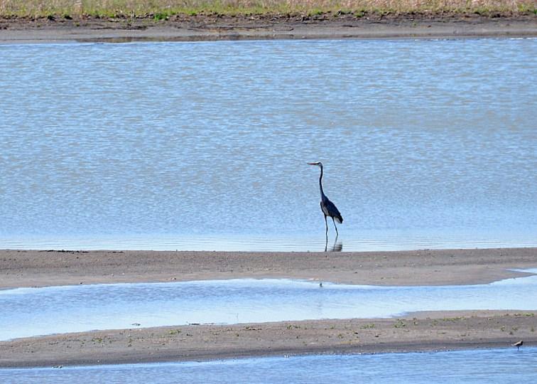 Great blue heron in Baker Wetlands