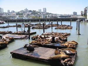 Die Seelöwen am Pier 39 in San Francisco