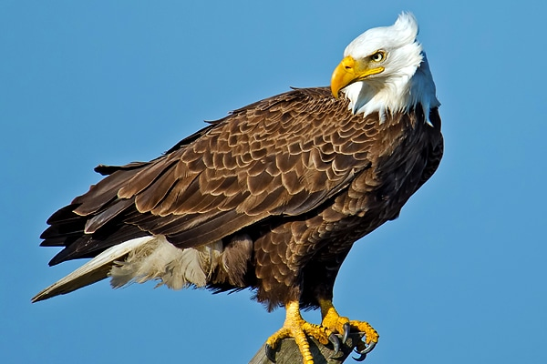 Close up Eagle on Perch