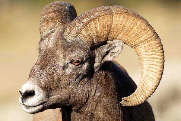 Closeup of Long Horn