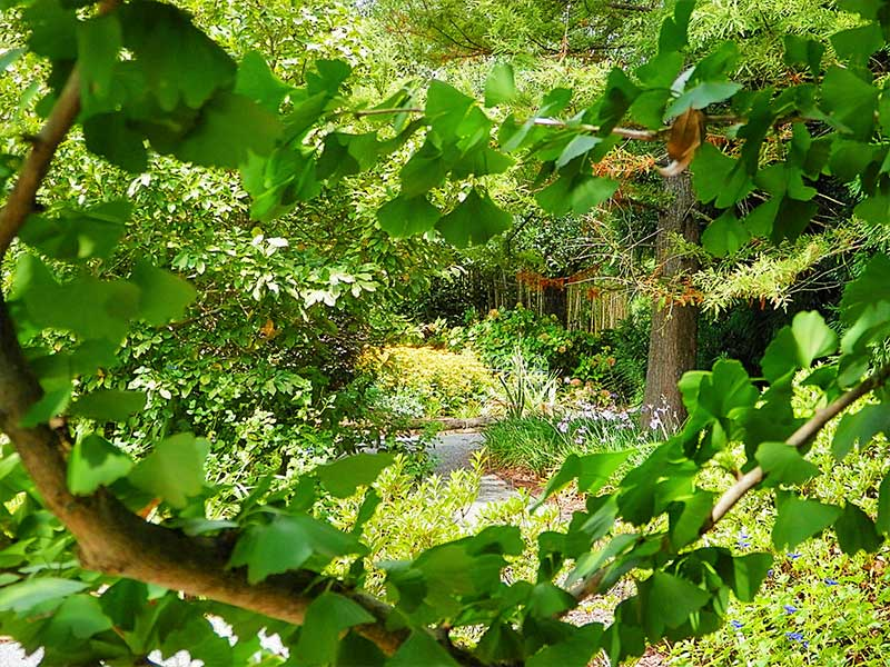 Garden through the Ginkgo Tree | Americus Garden Inn near GSW