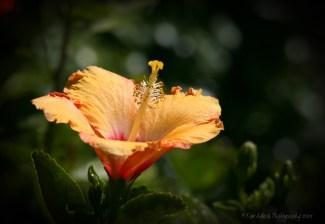 Hibiscus 2013