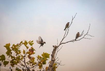 WesternBluebirds2sf