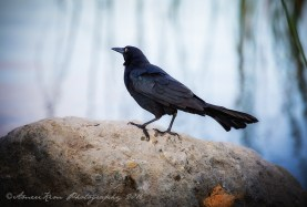 greattailedgrackle