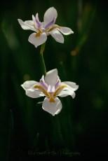 flowerduoanalogsf