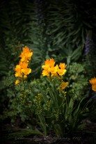 Freesia-Mission SJC-SF