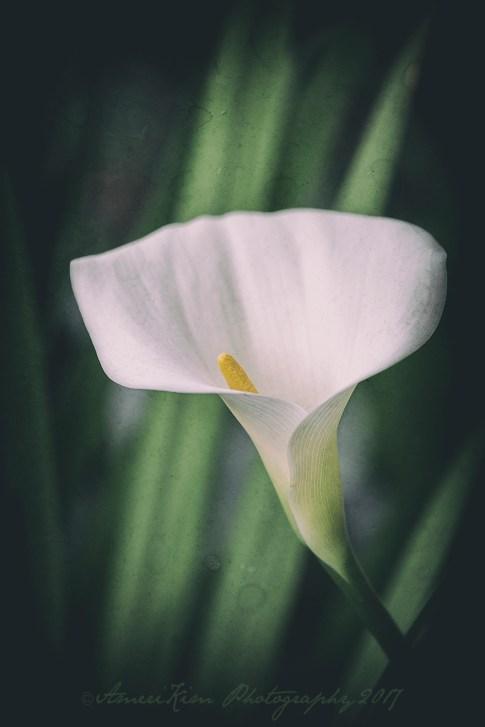 Lily1AnalogSF