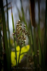 ReedplantsLightsf