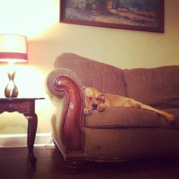 juju the dog asleep on couch