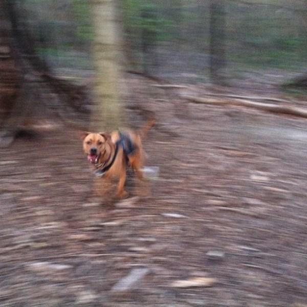 juju the dog  running