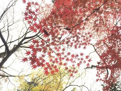 Красные кленовые листы